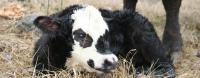 A brand new spring calf at Meadow Springs Guest Ranch